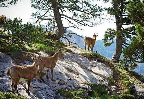 #vercors #pnrv #nature #montagne #mountains #cirquearchiane #archiane #wildlife #bouquetin #ibex #vercorssud #massifduvercors