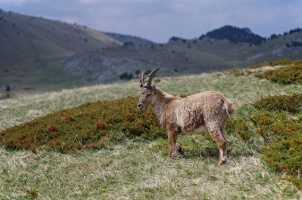 #vercors #pnrv #nature #wildlife #bouquetin #montagne #mountains #ibex #vercorssud #massifduvercors